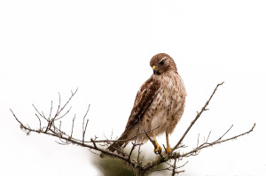 Hawk - Viera Wetlands FL