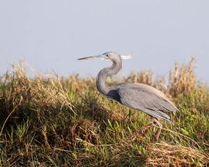 Tricolored Heron - Merritt Island NWR FL