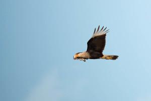 Crested Caracara - Viera Wetlands FL