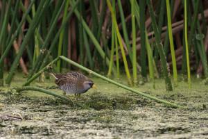Sora - Viera Wetlands FL