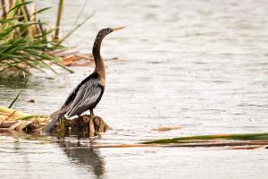 Anhinga - Viera Wetlands FL