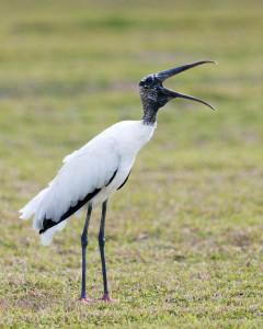 Wood Stork - Viera Wetlands FL