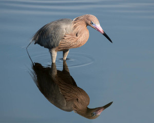 Reddish Egret - Merritt Island NWR FL