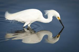 Snowy Egret - Merritt Island NWR FL