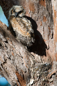 Great Horned Owl - Fort De Soto FL