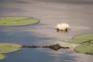 Alligator - Boyd Hill Nature Preserve FL