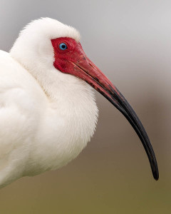 White Ibis - Venice Rookery FL