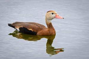 Black-bellied Whistling Duck - Venice Rookery FL
