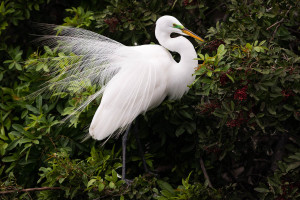 Great Egret - Venice Rookery FL