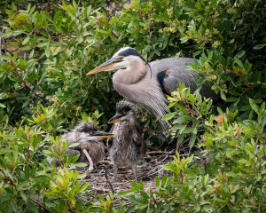 Great Blue Heron - Venice Rookery FL