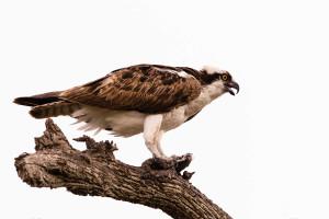 Osprey - Myakka River SP FL