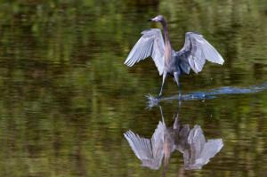 Reddish Egret - Ding Darling NWR FL
