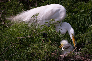 Great Egret - Gatorland FL