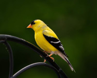 American Goldfinch - Johns Creek, GA