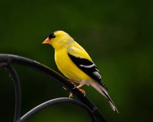 American Goldfinch - Johns Creek, GA