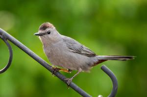 Gray Catbird - Johns Creek, GA
