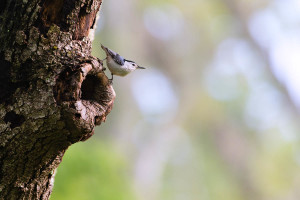 White-breasted Nuthatch - Great Smoky Mountains NP, TN