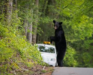 Black Bear - Great Smoky Mountains NP, TN