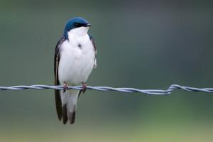 Tree Swallow - Great Smoky Mountains NP, TN
