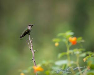 Hummingbird - Great Smoky Mountains NP, TN