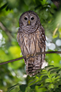 Barred Owl - Johns Creek, GA