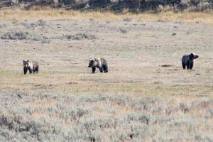 Grizzly Bear - Yellowstone NP