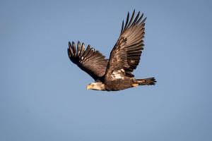Bald Eagle - Yellowstone NP