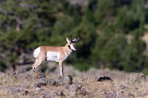Pronghorn - Yellowstone NP