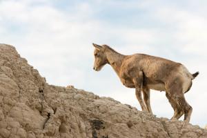 Bighorn Sheep - Badlands NP - SD