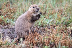 Prairie Dog - Custer State Park - SD