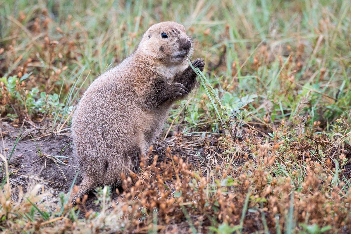 How Fast Can A Prairie Dog Run