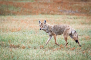 Coyote - Custer State Park - SD