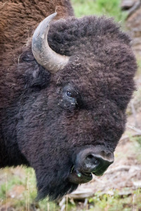 Bison - Custer State Park - SD