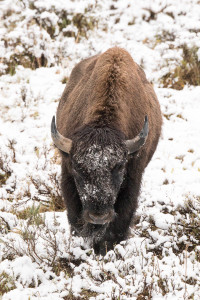 Bison - Yellowstone NP
