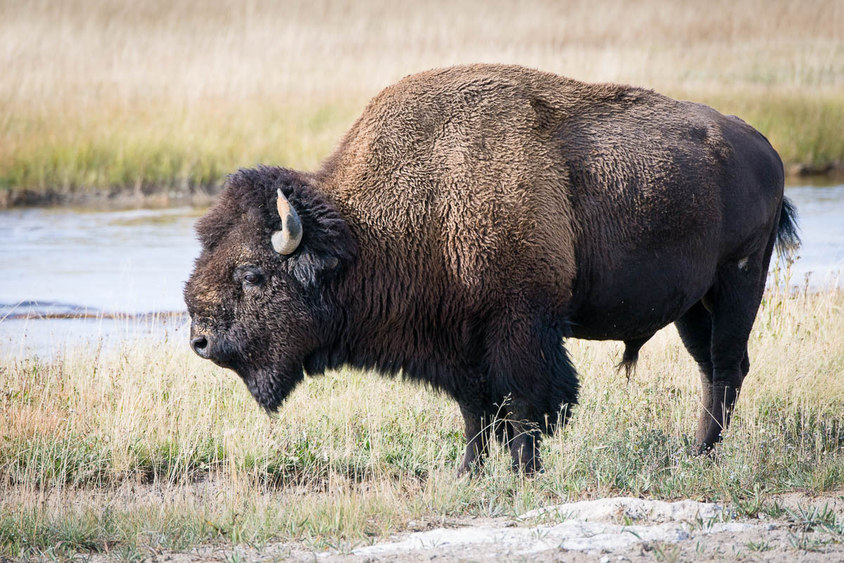 Yellowstone Animals Wp3 Photography