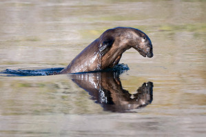 River Otter - Yellowstone NP