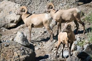 Bighorn Sheep - Yellowstone NP