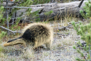 Porcupine - Yellowstone NP