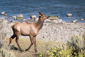 Elk - Yellowstone NP