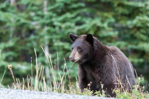Black Bear - Yellowstone NP