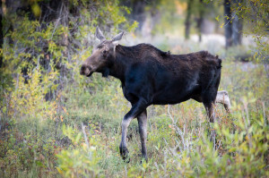 Moose - Grand Teton NP