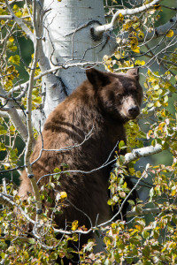 Cinnamon Black Bear - Grand Teton NP