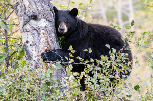 Black Bear - Grand Teton NP