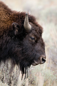Bison - Grand Teton NP