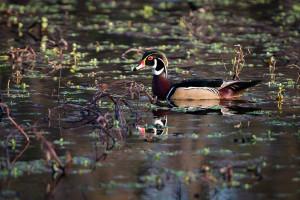 Wood Duck - Newport News, VA