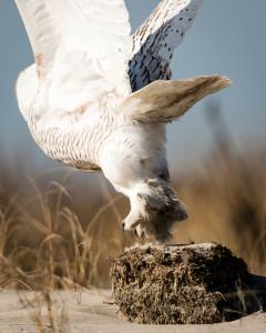 Snowy Owl - Chincoteague NWR, VA