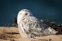 Snowy Owl - Chincoteague NWR, VA