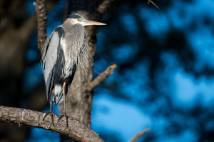 Great Blue Heron - Chincoteague NWR, VA