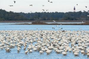 Snow Geese - Chincoteague NWR, VA