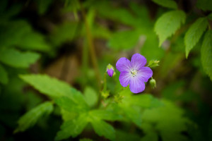 Purple Phacelia - Porter's Creek Trail - GSMNP, TN